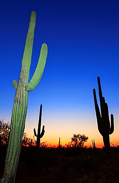 Dusk in Saguaro N.P. , Arizona, USA.