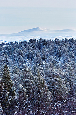 Winter landscapein Kiruna, Swedish lapland in march with mount GarmastjÂkka in the background an snowy pinetrees in the fore ground