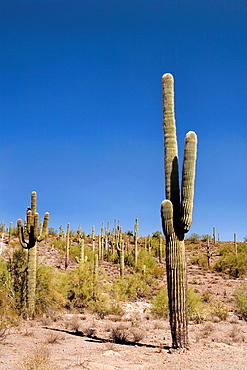 A Saguaro Cactus on a hillside in Arizona, USA