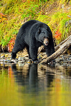 American Black bear (Ursus americanus)- Patrolling riverbank for spawning salmon. Chilcotin Wilderness, BC Interior, Canada