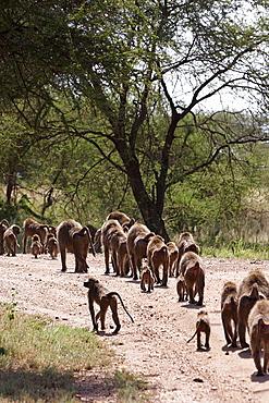 Baboon troop. Serengeti. Tanzania.