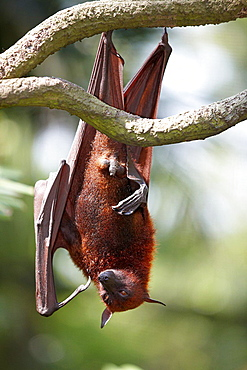 Malayan flying fox, or fruit bat in Singapore Zoo. Scientific name: Pteropus vampyrus.