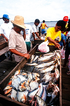 Piranha, Fish Market, Port, Confluence Of The Amazonas And Tapajos Rivers, Santarem, State Of Para, Amazon Region, Brazil, South America.