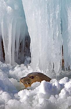 wild seal in Bakkai Port,Wakkanai, Hokkaido, Japan.