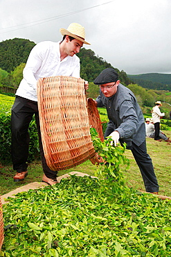 Azorean men working in the tea gardens at Porto Formoso, Sao Miguel, Azores islands, Portugal.