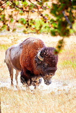 A Bison in Yellowstone National Park, Wyoming, USA.