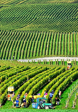 Workers harvesting grapes, vintage, canton Vaud, Switzerland.