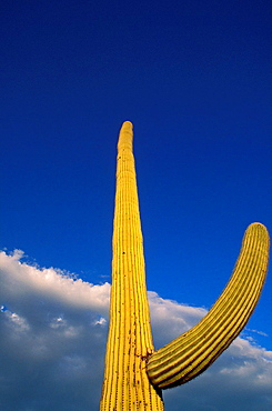 Evening light on Saguaro Cactus under blue sky and clouds, Organ Pipe Cactus National Monument, Arizona USA.