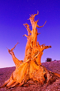Ancient Bristlecone Pine (Pinus longaeva) under starry sky in the Patriarch Grove, Ancient Bristlecone Pine Forest, White Mountains, California USA.