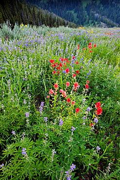 Wildflowers, Idaho.