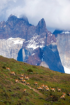 Guanaco (Lama guanicoe) herd with Paine Mountains in background in Torres del Paine National Park in Patagonia, Chile.
