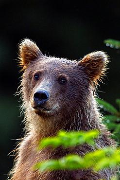 North American brown bear, coastal grizzly bear (Ursus arctos horribilis)cub, Lake Clark National Park, Alaska, United States of America.