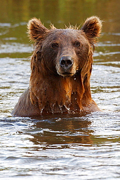 North American brown bear, coastal grizzly bear (Ursus arctos horribilis) sow fishes in a creek, Lake Clark National Park, Alaska, United States of America.