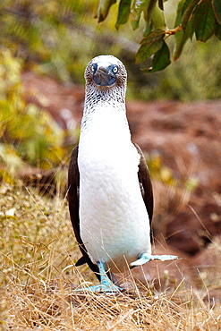 A dancing Blue-footed Booby (Sula nebouxii), Galapagos Islands National Park, North Seymour Island, Galapagos, Ecuador.