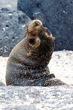 A juvenile Galapagos Sea Lion (Zalphus wollebacki), playing in the sand near the shore, Galapagos Islands National Park, North Seymour Island, Galapagos, Ecuador.