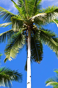 Palm Tree on Bohol Island, Phillipines.