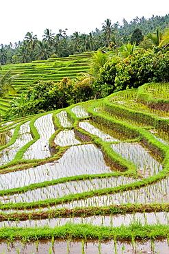 Rice Paddy on Bali, Indonesia.