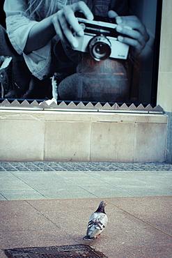 Pigeon caught at Henry Street, Dublin, Ireland.