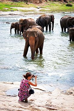 Tourists watching Asian elephants bathe in the river, Pinnawela, Sri Lanka, Indian Ocean, Asia.