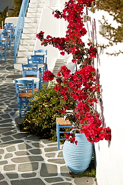 Bougainvilleas at the entrance of a restaurant in Parikia, Paros, Cyclades Islands, Greek Islands, Greece, Europe.