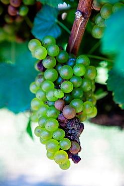 Ripening Carbarnet grapes at the Cape May Winery.