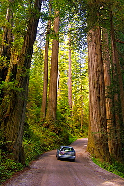 Sunlight through redwood trees in forest and car driving on Howland Hill Road, Jedediah Smith Redwoods State Park, California.