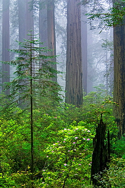 Old broken tree trunk growing next to new young redwood tree in forest with fog, Del Norte Coast Redwood State Park, California.