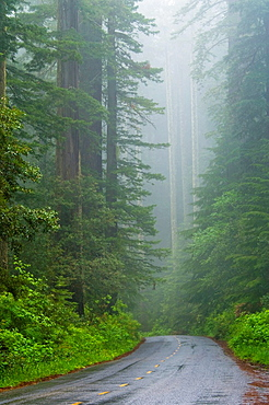Road through Redwood trees and forest in the fog and rain, Redwood National Park, California.
