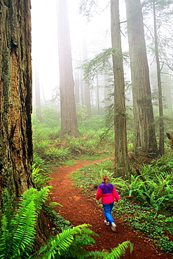 Woman hiker on trail through forest in fog, Redwood National Park, California.