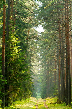 Summer in a Wood in the Masurian Lake District. Summer. POland.