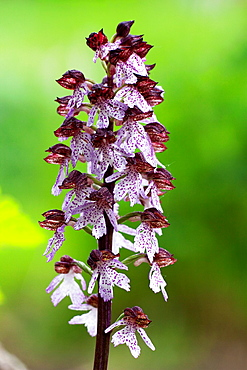 Lady Orchid (Orchis purpurea) in flowering. This is one of the biggest Orchids in Europe - Bavaria/Germany.