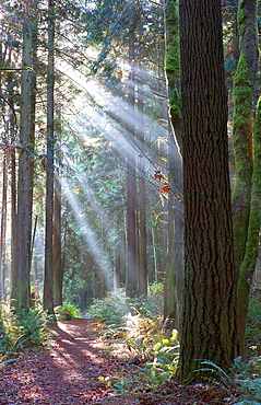 Daylight divides into streams that bath a forest in morning light in the Hansville Greenway Trail system in Washington State.