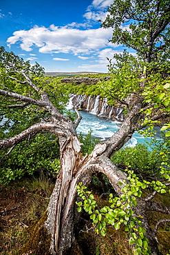 Tree by Hraunfosar waterfall, Borgarfjordur, Iceland.