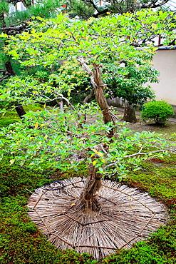 Japan, Kyoto, Shokokuji Temple, garden, tree,.