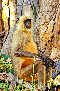 Gray or Hanuman langur Semnopithecus entellus, Rantambhore National Park, Rajasthan state, India