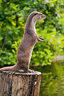 European River Otter (Lutra lutra)