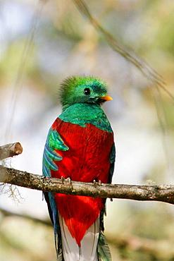Quetzal (Pharomachrus mocinno), Cloudy forest, Monteverde Reserve, Costa Rica