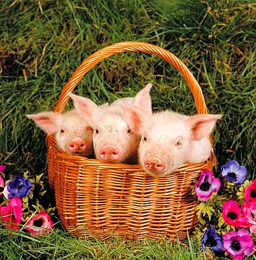 Large white piglets