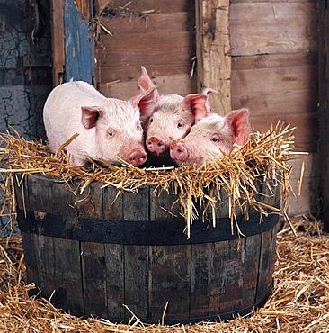 Large white piglets, Hertfordshire, England, UK