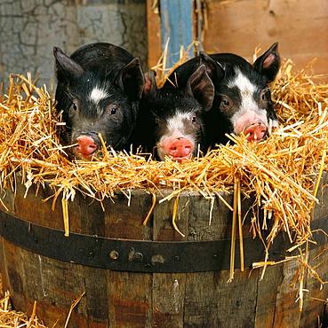 Old Berkshire piglets, Hertfordshire, England, UK