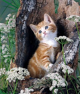 Ginger kitten in hollow log