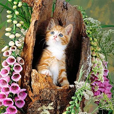 Ginger kitten and foxgloves