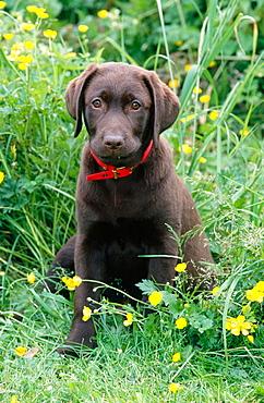 Chocolate Labrador Retriever puppy (10 weeks old)