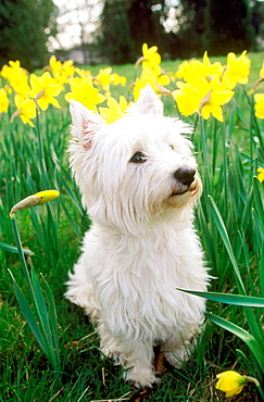 West Highland Terrier and Daffodils