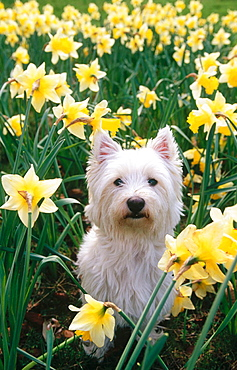 West Highland terrier and daffodils, Spring, Hertfordshire, England, UK.