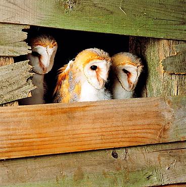 Common Barn Owl (Tyto alba), three juveniles peer from nesting site