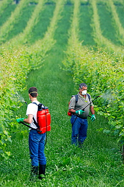 Farmer treating plant with sprayer (insecticide, pesticide, Copper sulphate), Txakoli vineyards, Gipuzkoa, Euskadi, Spain.