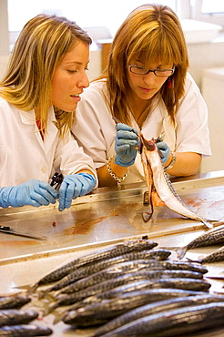 Biological sampling of mackerel, Otoliths extraction, Fishing biology laboratory, AZTI-Tecnalia, Technological Centre specialised in Marine and Food Research, Pasaia, Gipuzkoa, Euskadi, Spain.