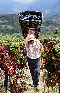Vintage, Grape harvest, A worker carries a gigo (large basket: 60 kg) to transfer grapes to the 'lagares' (winepress), Douro vineyards.The river Douro valley, Port wine (Vinho do Porto), Portugal
