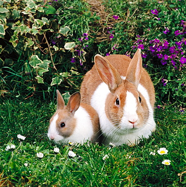 Dutch rabbit breed and young